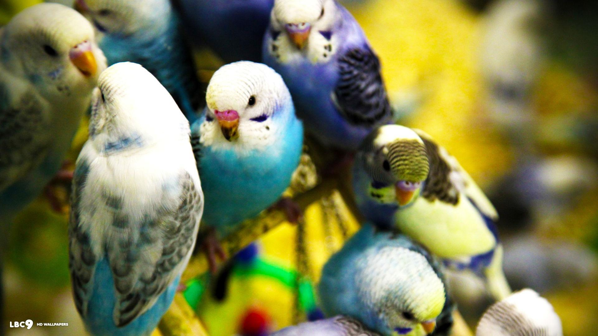 Which of My Budgies (Parakeets) Are You?