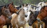 Horse Breeds and Colors