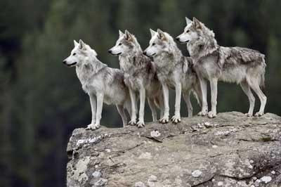 What rank are you in a wolf pack
