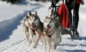 How much do you know about dog sledding ???