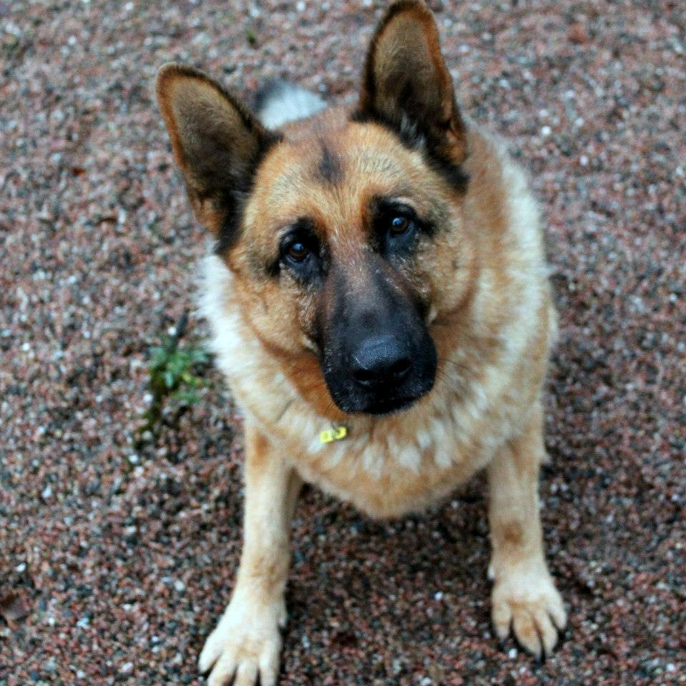 Could you look after an Alsatian?