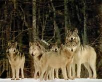 Are you fit to be in my wolf pack?