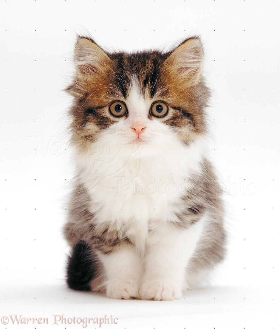 What cat breed are you? (1)