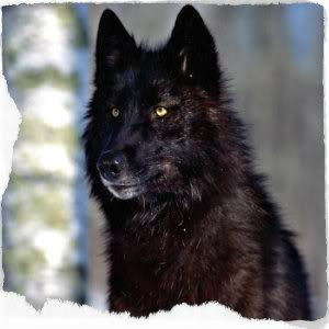 You are a Black Wolf