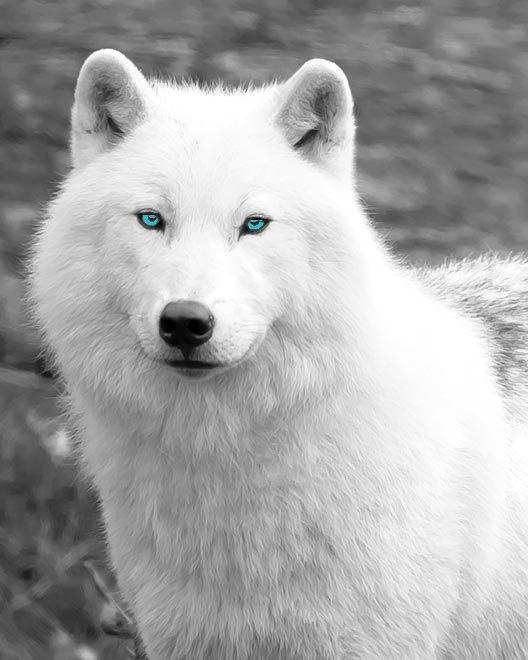 You are a White Wolf