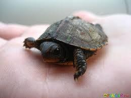 What are baby turtles called?