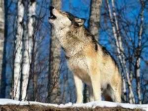 Tick all the ways wolves communicate with their pack members