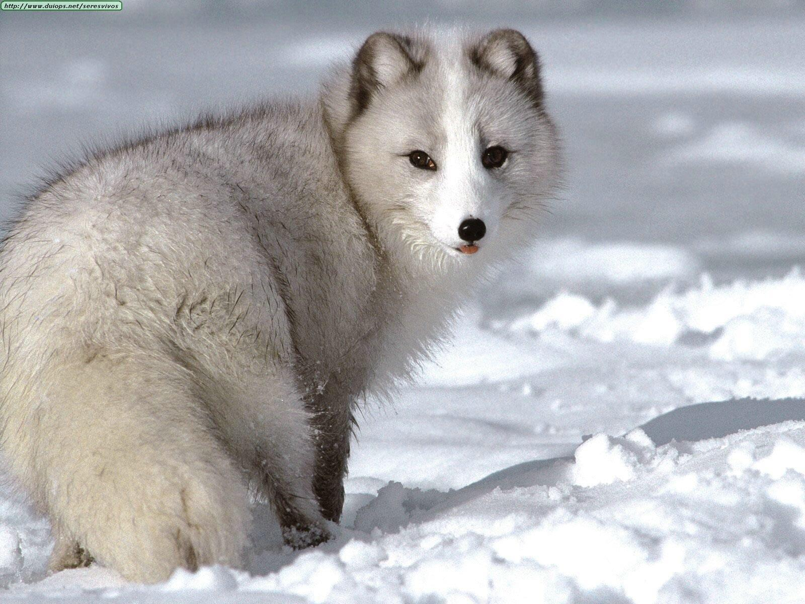 You see an Arctic Fox in a distance.