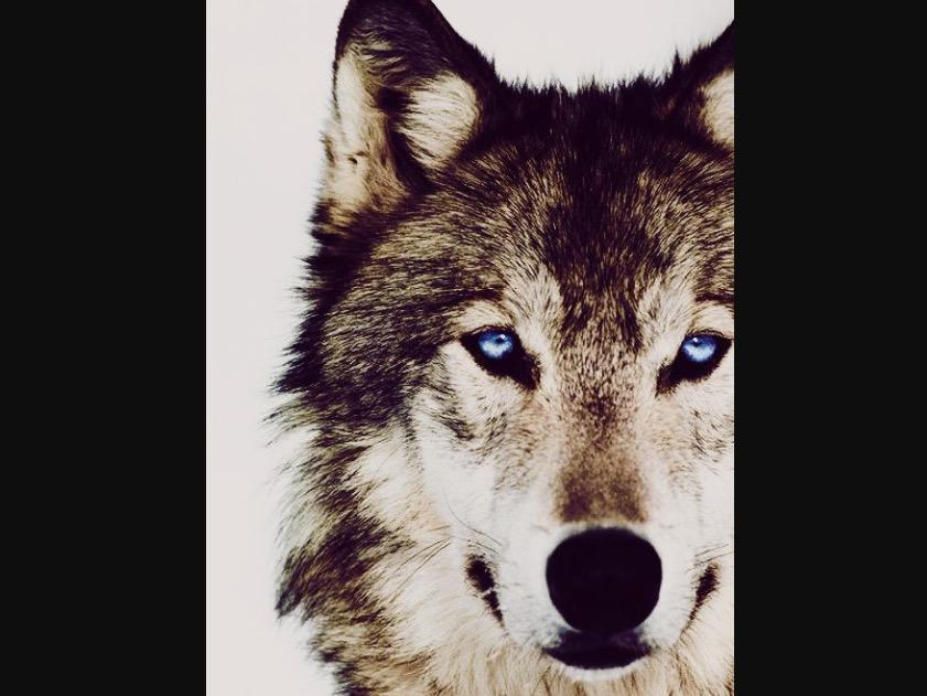 If you were in trouble with a unknown wolf or multiple unknown wolves what would you do?