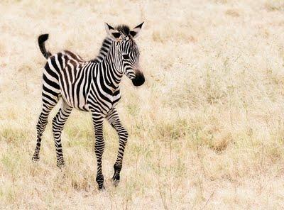 What are zebras?