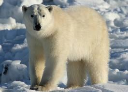 What coler is a polar bears skin?