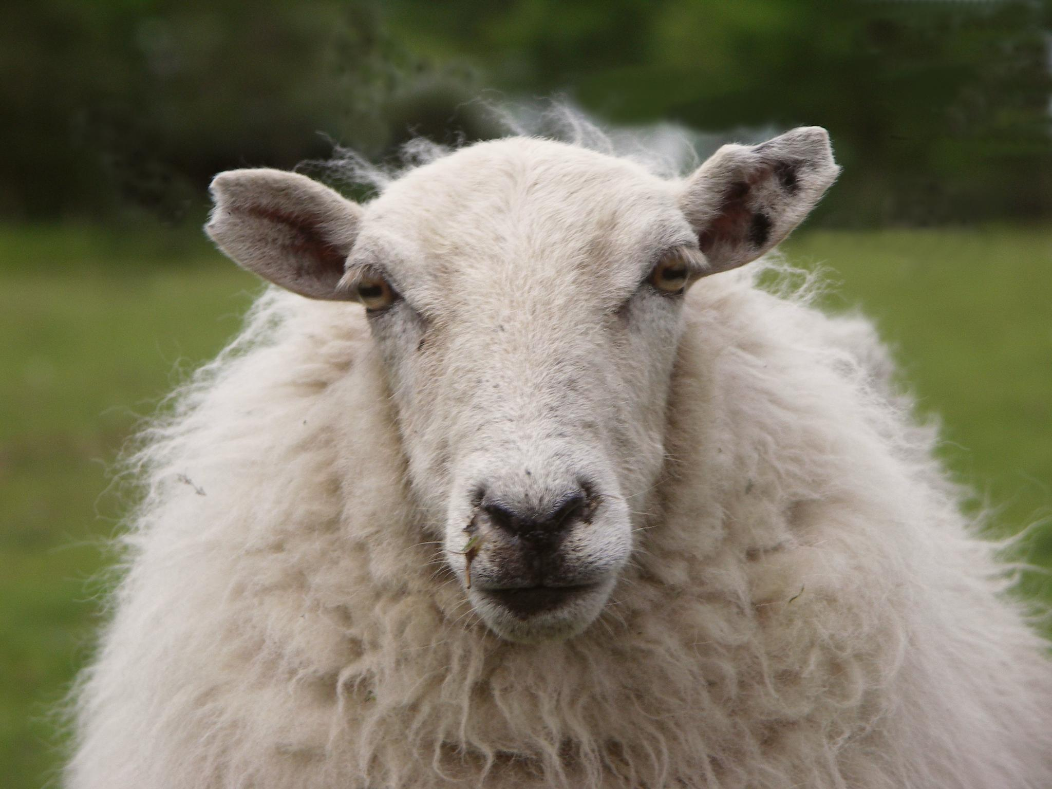 What are some the countries with the most sheep?