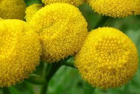 Tansy is sometimes given to cats to stop them from getting sick.