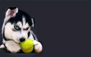 Simple question so there is only gonna be 3 answers... Will you play with your husky?