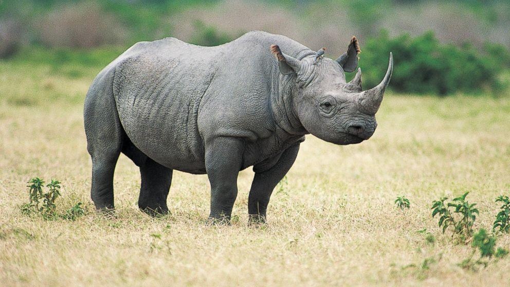 What is a group of rhinoceroses called?