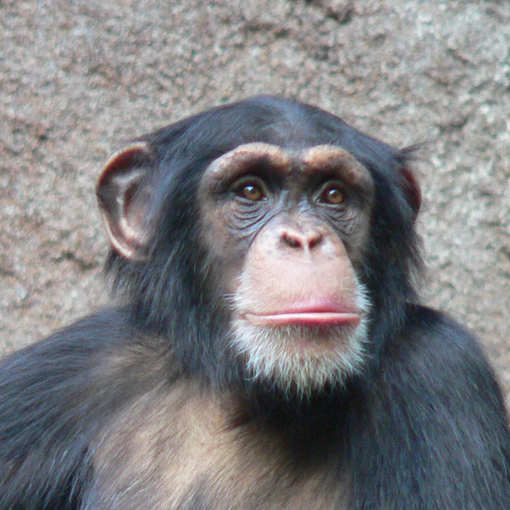 Chimpanzee's and humans have 98% of the same DNA