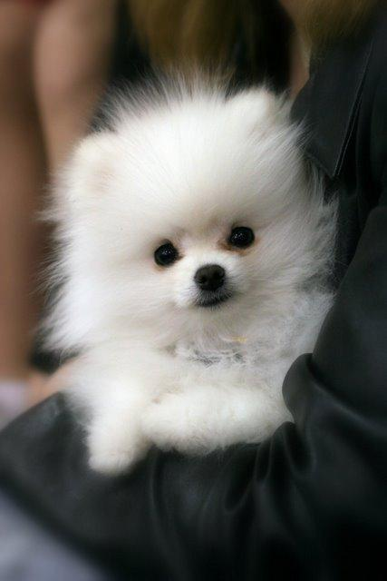 Everybody loves Pomeranians, right? Well where did they come from england or poland?