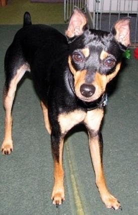 The American Rat Pinscher is a mix between which 2 breeds?