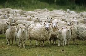 What is a group of sheep known as?