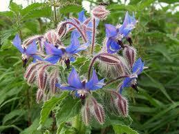 Borage leaves are used for: