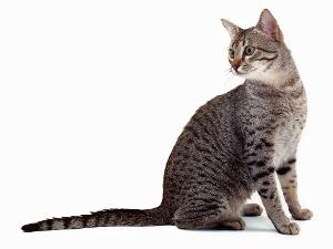 I am native to Egypt. I am considered the elegant type. I am best described as a regal cat. My hind legs are even longer than my front legs, and I have a great burst of soeed adaptation. What cat breed am I?