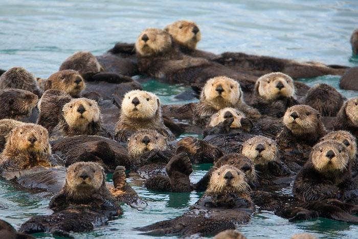 What is a group of otters called?