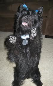 what is this smart dog,he is part scottish terrier...