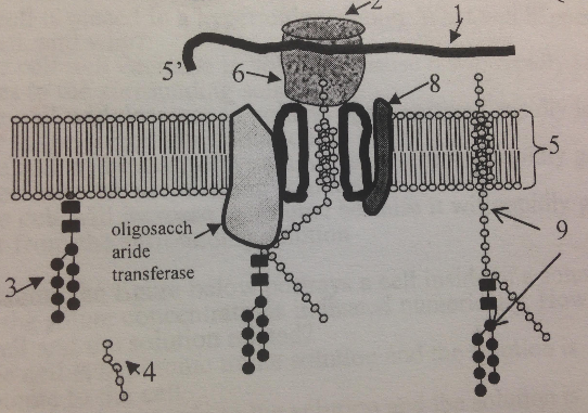 Which organelle membrane is the process shown taking place in?
