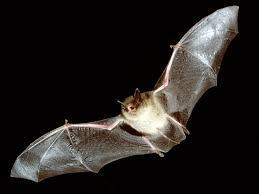 Are bats blind?