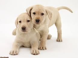 Last question. What colours do labradors come in?
