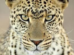 What couleur is the leopards eyes?