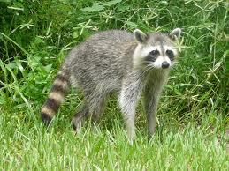What family is raccoon in?