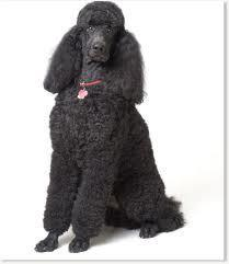 where were poodles first bred? Western or northern europe?