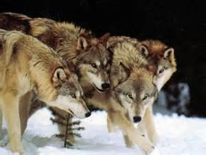 How do wolf packs form?