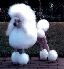As being a dog hotel boss goes, you will be asked questions about dog history, especially people who want to be like you. For a test, I'll ask you this, Were poodles used as hunting dogs years ago? (TRUE or FALSE)