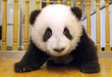 Do pandas have anyblack and white fur when they're born?