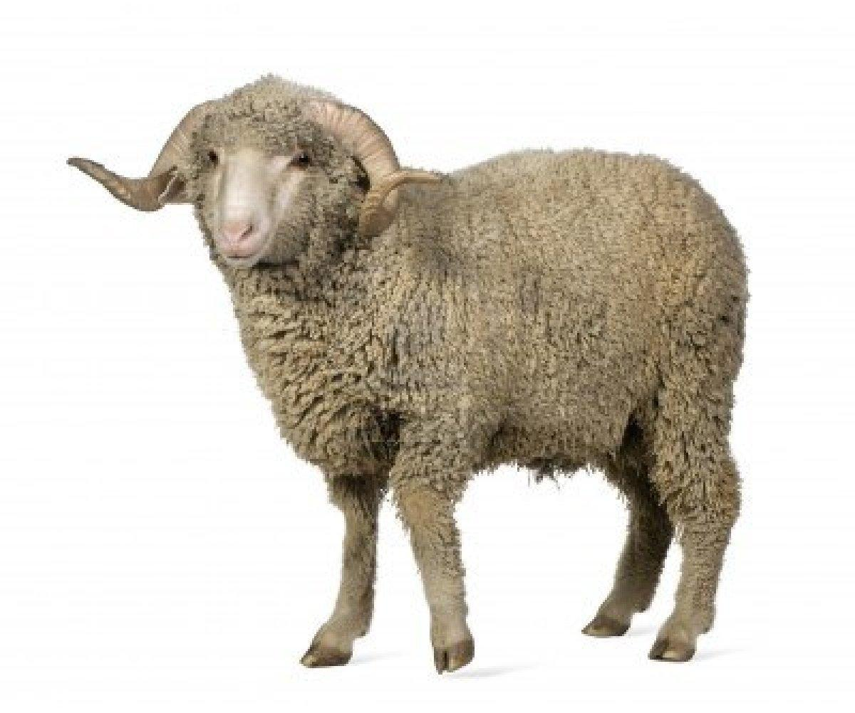 What is the name of a lamb's father?