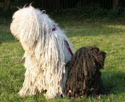 What is the main difference between a Puli and a Komondor?