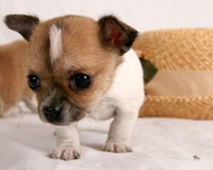 What is true about a Chihuahua?