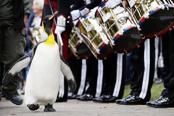 Which country knighted a penguin?