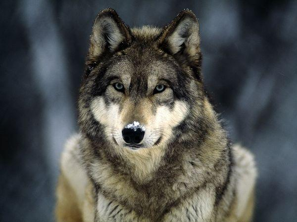 Do You Like Wolves