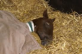 A young foal gets sick and cannot move for a couple days. Rumor has it that a band of cowboys are coming north to where you are. what do you do?