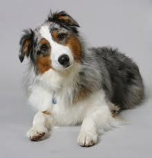"What dog is nicknamed ""Aussie""?"