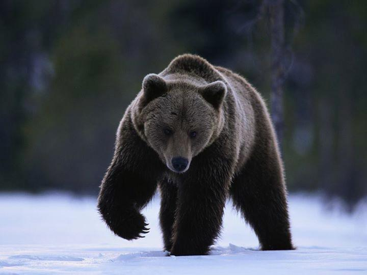 Can a bear walk on it's hind legs like a human?