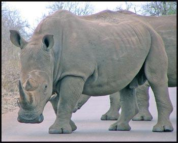 What kind of rhinoceros lives in Africa?