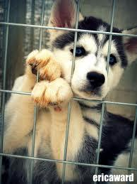 a husky is in a cage,hurt,wounded ,sad its in a bar being thrown about by lads ,a barman picks the cage up and asks you do you know how to look after it?