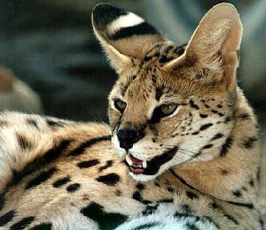 True or false? Servals have the longest legs of all wildcats.