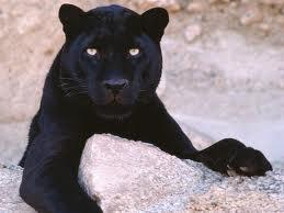 Do panthers have spots. True/False ( Just write True if you think it's true and false if you think it's false )