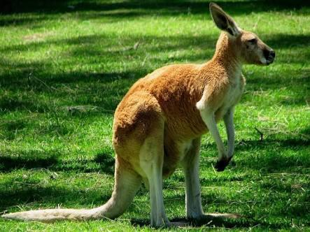 If you lift up a kangaroos tail it will fart