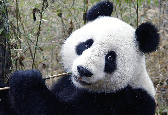 What do pandas eat besides bamboo?